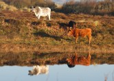 IMG_5554 Cow Reflection - Copy
