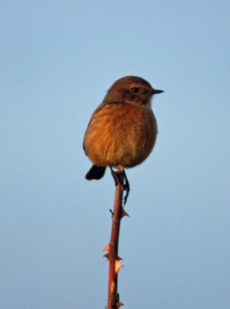 IMG_5568 Female Stonechat 29th Oct 2017 - Copy