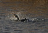 IMG_5672 Comorant bathing in fishing pond 3rd Dec 2017 - Copy