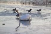 IMG_5696 Swan taking a bite - Copy