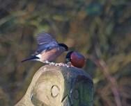 IMG_5890 Pair of Bullfinch on owl's head - Copy