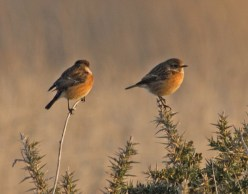 IMG_5938 Pair of Stonechats - Copy