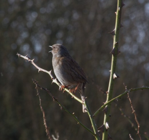IMG_5958 Singing Dunnock - Copy