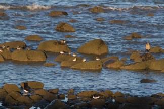 IMG_6013 Mixed Waders at Earnsy Bay - Copy
