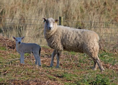 IMG_6060 One of 2018 season lambs - Copy