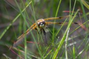 IMG_6316 Four-spotted Chaser - Copy