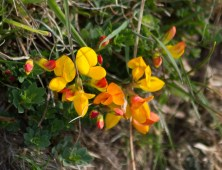 IMG_6325 Common Bird's-foot Trefoil - Copy