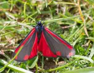 IMG_6336 Cinnabar moth - Copy