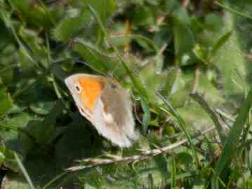IMG_6343 Small Heath - Copy
