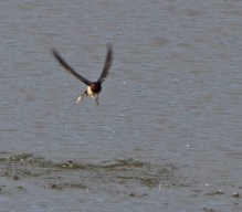 IMG_6406 Swallow taking flies off the water - Copy