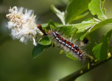 IMG_6429 Yellow-tail moth caterpillar - Copy