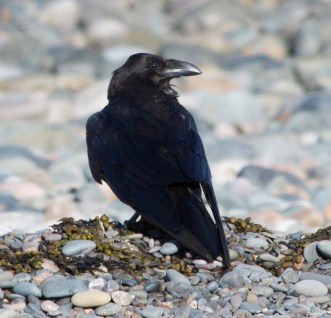 IMG_6665 Raven on beach - Copy