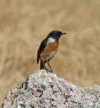 IMG_7162 Stonechat male - Copy
