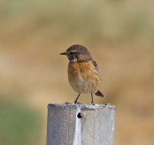 IMG_7163 Stonechat female - Copy