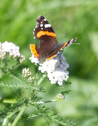 IMG_7510 Red Admiral with bite out of wing - Copy