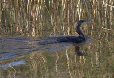 IMG_7933 Cormorant on fishing pond - Copy
