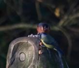 IMG_8032 Bullfinch warning to Blue Tit on Owl's head - Copy