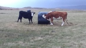 cows eating from direct from the bales (2)