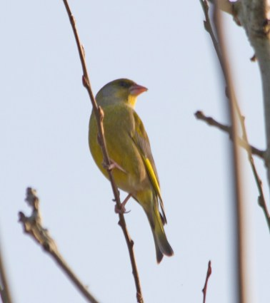 IMG_8266 Greenfinch - Copy