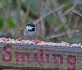 IMG_8284 Coal Tit with sunflower seed - Copy