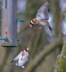 IMG_8290 Squabbling Goldfinch - Copy