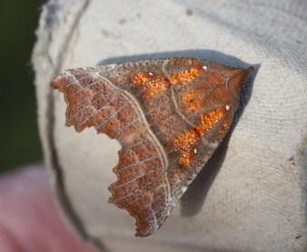 IMG_8442 Moth hunt N End 19-20th April 2019 Herald - Copy
