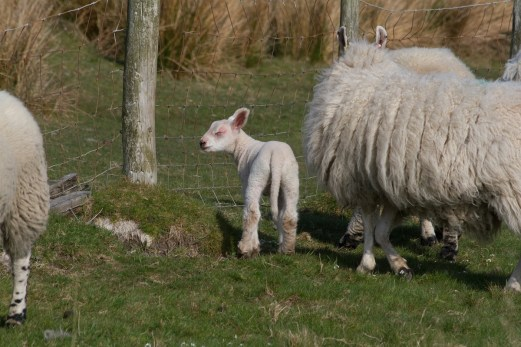 IMG_8454 New lamb - Copy
