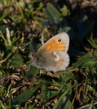 IMG_8560 Small Heath - Copy