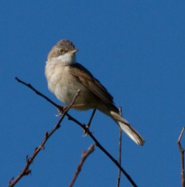 IMG_8575Whitethroat - Copy