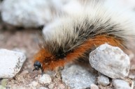 Garden Tiger Caterpillar 2