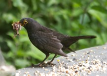 IMG_8797Male Blackbird with beak full of worms