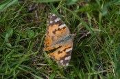 IMG_8901 Painted Lady - Copy