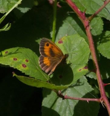 IMG_9119 Gatekeeper butterfly - Copy