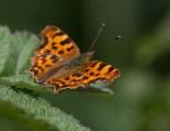 IMG_9124 Comma butterfly - Copy