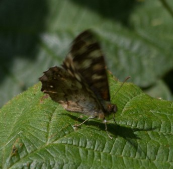IMG_9127 Speckled Wood butterfly - Copy
