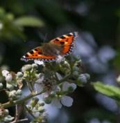IMG_9130 Small Tortoiseshell butterfly - Copy