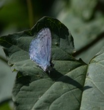 IMG_9136 Holly Blue butterfly - Copy