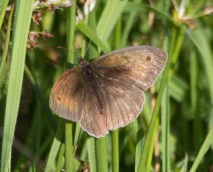 IMG_9300 Male Meadow Brown - Copy
