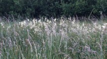 Meadowsweet 2 - Copy