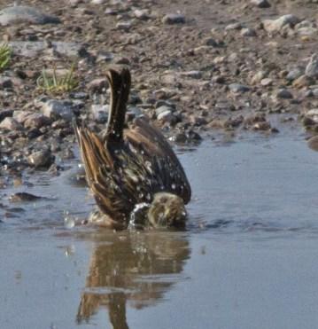 IMG_9327 House Sparrow having a bath - Copy