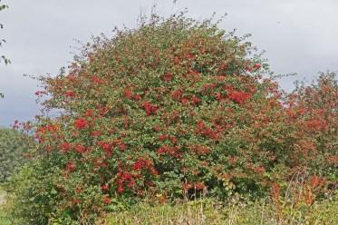 IMG_9476 Abundant Hawthorn tree - Copy
