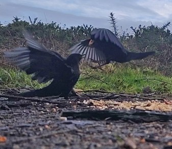Squabbling Blackbirds 3rd Feb 2020 3