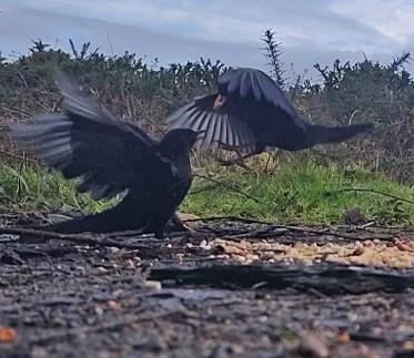Squabbling Blackbirds 3rd Feb 2020 3