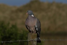 IMG_0571 Woodpigeon on post at south end of long pond 3rd May 2020 - Copy