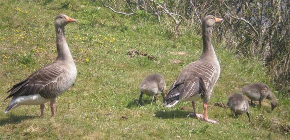 2020 Home 0607 - Greylag Geese family one