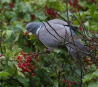 IMG_0919Woodpigeon eating red currants 7th July 2020 edited