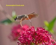 IMG_0950Humming bird hawk moth in garden 8th August 2020 named edited