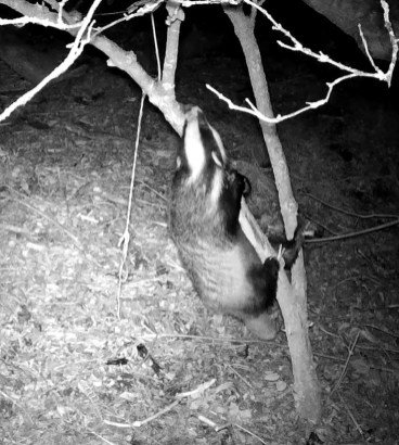 VD_00040Badger Climbs tree_ 1 (00.00.16.033)cropped copy