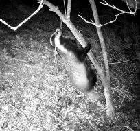 VD_00054Badger Climbs tree_ 1 (00.00.18.033)cropped copy