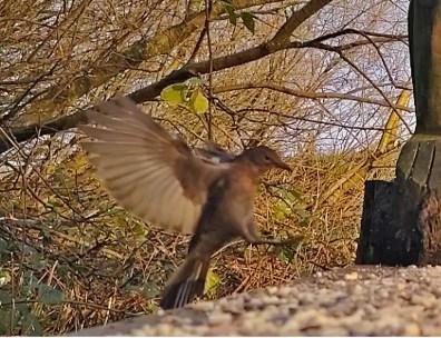 Female Blackbird landing on Geoff's bench 1st Dec 2020